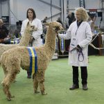 Springfarm Obelix - Reserve Champion Light