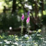 Foxgloves in our woodland