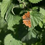 Comma butterfly at the water meadow