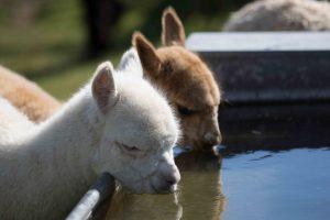 Baby alpacas drinking