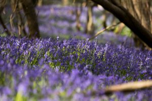 Our bluebell wood in Spring