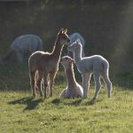 Backlit alpaca cria