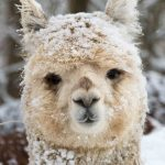 Alpaca (Svetlana) in the snow