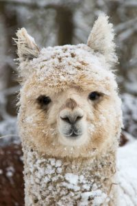 Alpaca (Svetlana) in the snow