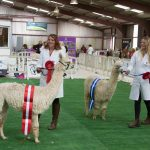 South of England Alpaca Show 2019
