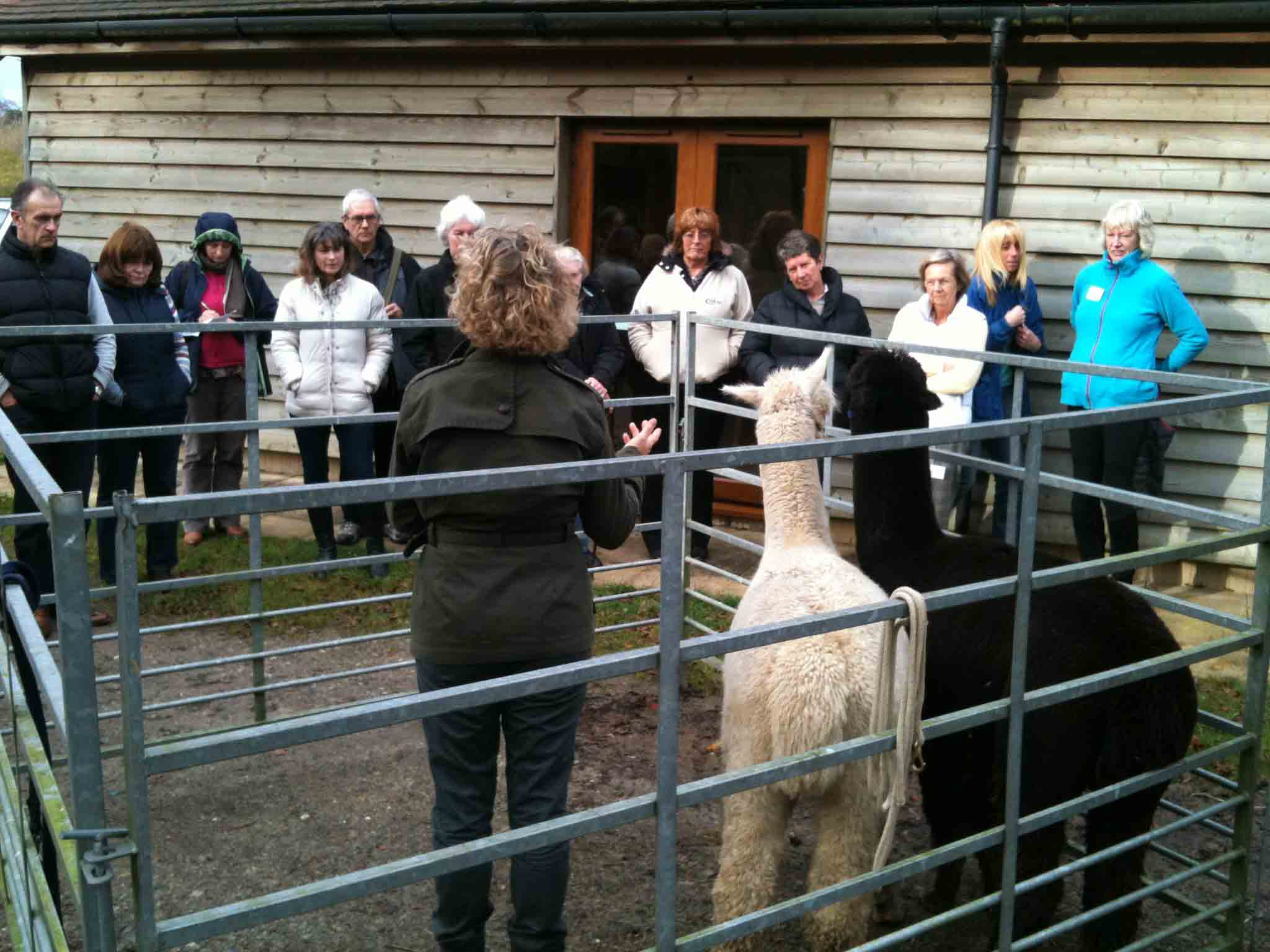 Alpaca beginners day demonstration at spring farm alpacas
