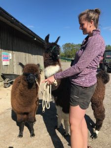 Alpaca and llama halter training