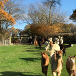 Alpacas running to new field