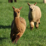 Baby alpacas running
