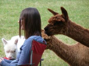 alpaca meditation