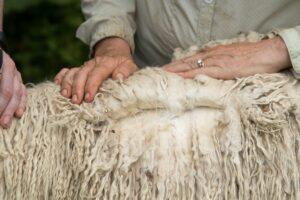 Springfarm Roman is a white suri stud male