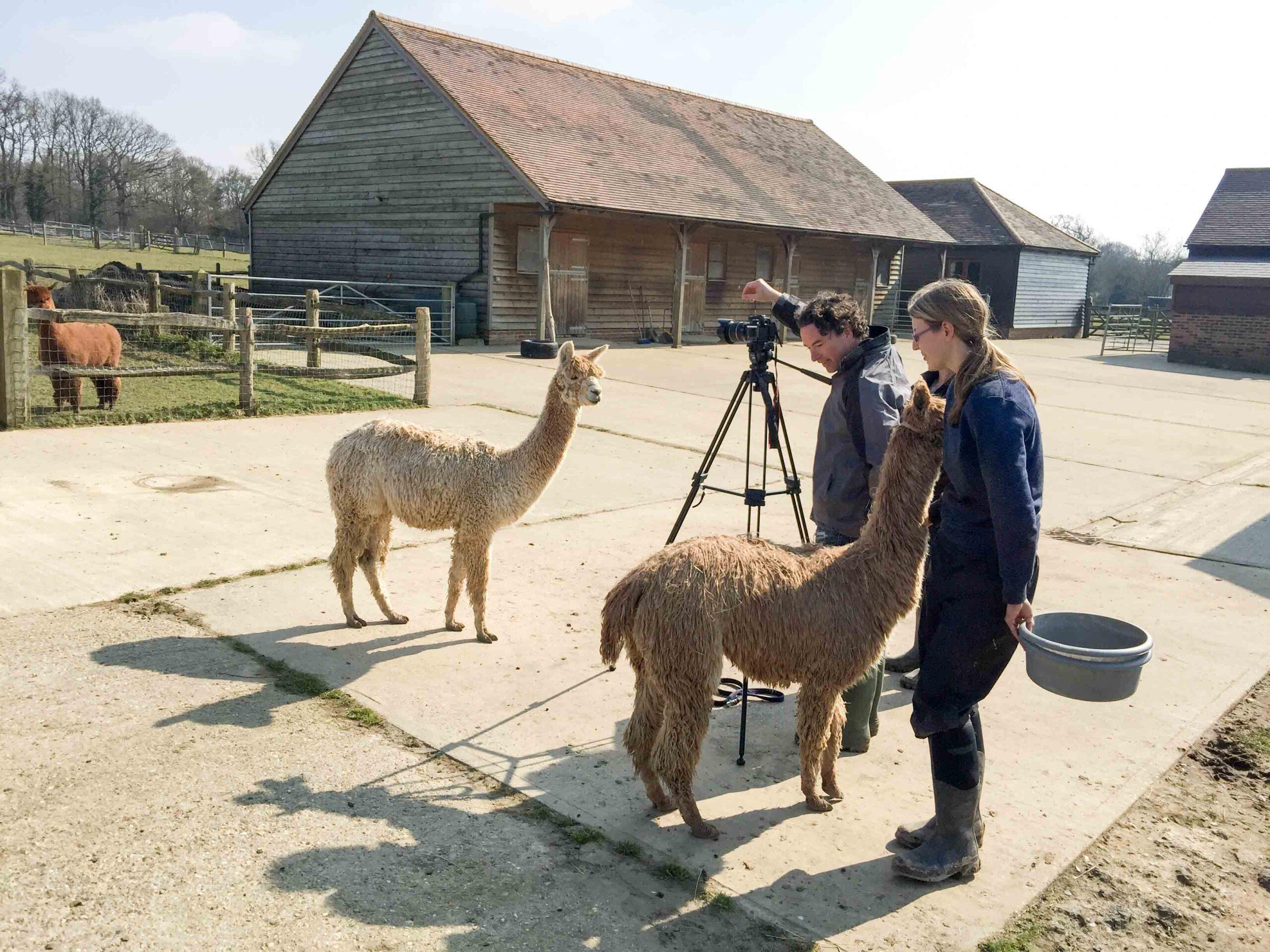 filming friendly alpacas