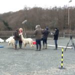 Filming Down on the Farm with alpacas and llamas