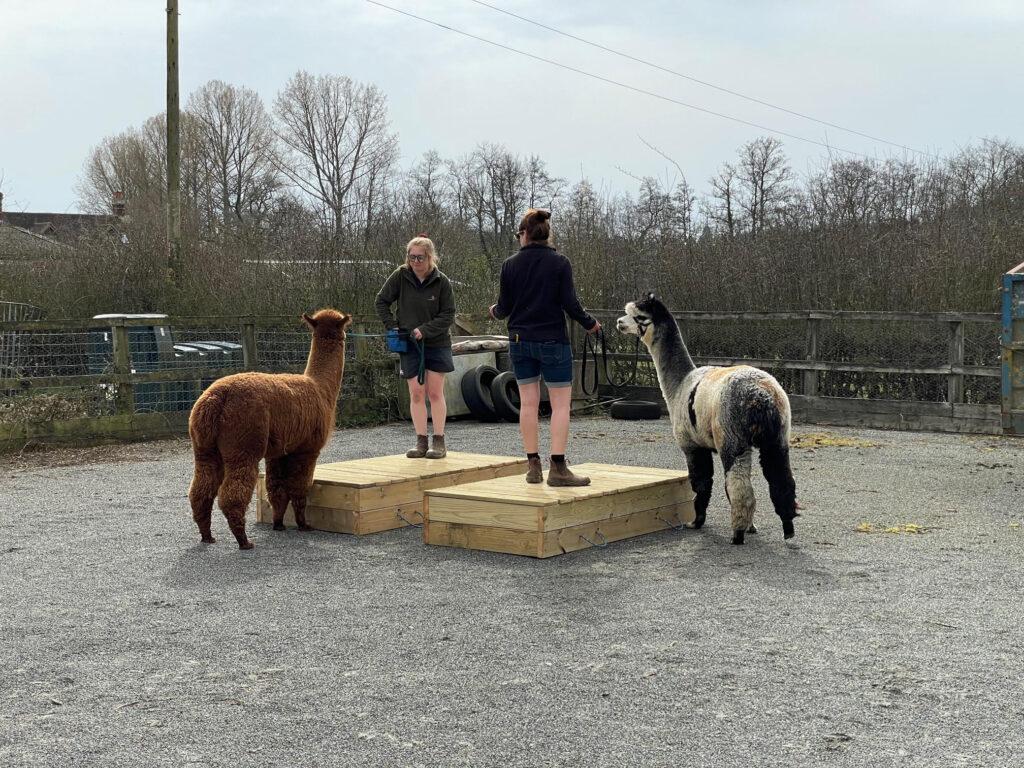 Alpaca handler training course