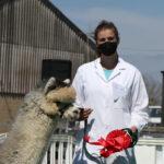Showing grey champion alpaca