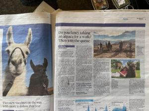 Alpaca walking at Spring Farm Alpacas featured in The Observer 4/4/21