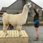 Merlin the llama agility training