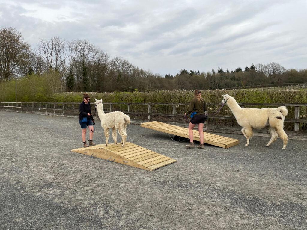 Alpaca and llama agility course