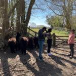 Filming walking alpacas and llamas