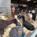 Film alpacas and llamas near london