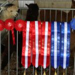 Springfarm alpacas championship sashes
