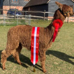 Springfarm King Arthur Champion Brown Suri alpaca
