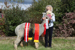 Springfarm Wizard - Best huacaya character style and jusges choice Heart of England 2021 fleece show