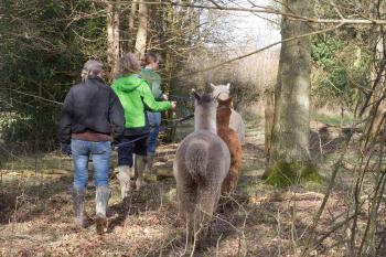alpaca walking2