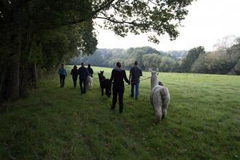 alpaca walking4