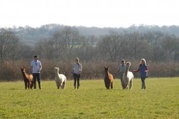 alpaca walking8